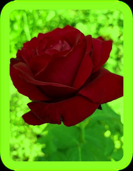 Чтение роз. Ao_1110