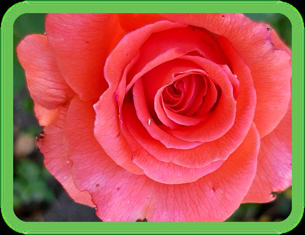 Чтение ваших будущих роз. Ao_610