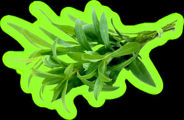 Трава тархун - лечебные свойства и противопоказания. Estrag10