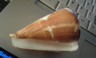 Conus (rhizoconus) vexillum Gmelin, 1791 20200130