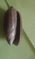 Oliva oliva (Linnaeus, 1758) 20200134