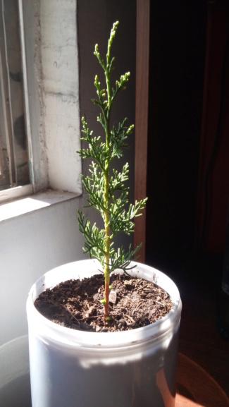 primer bonsai 20180610