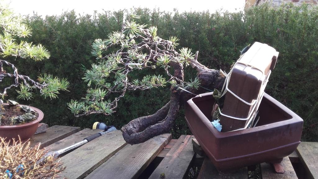 venta pino silvestre 20190110