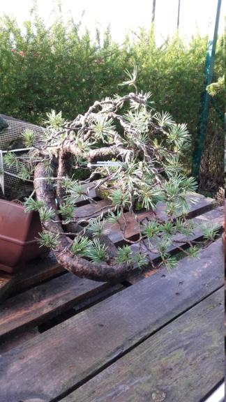 venta pino silvestre 20190111