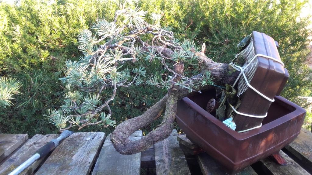 venta pino silvestre 20190112