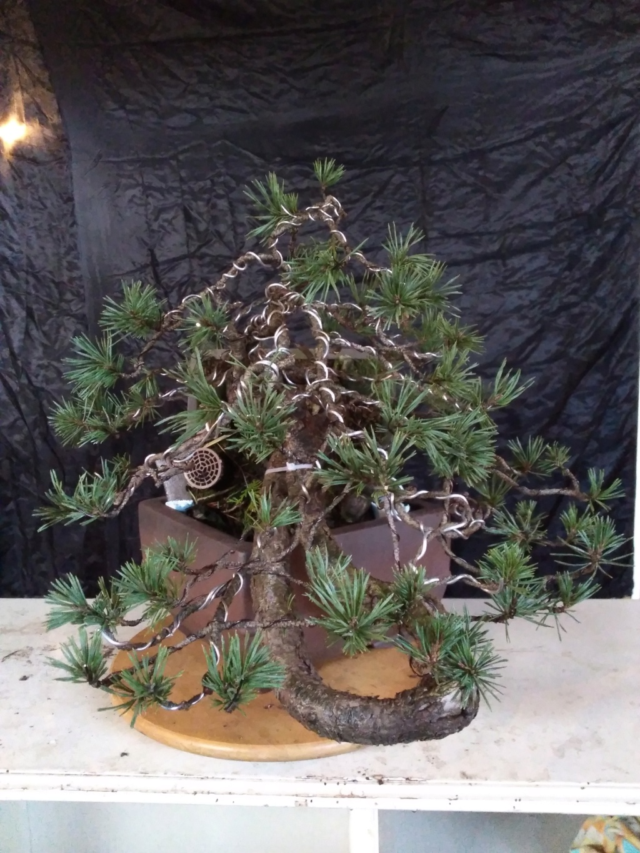 venta pino silvestre Img_2042