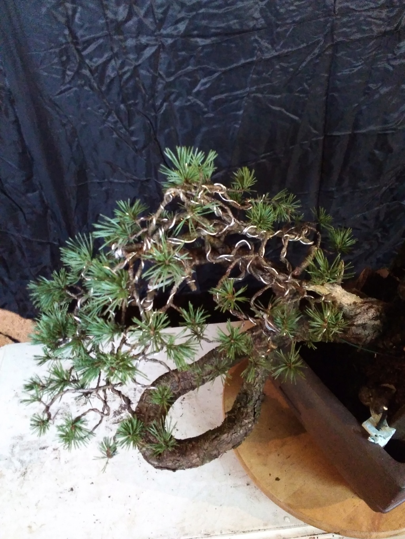 venta pino silvestre Img_2043