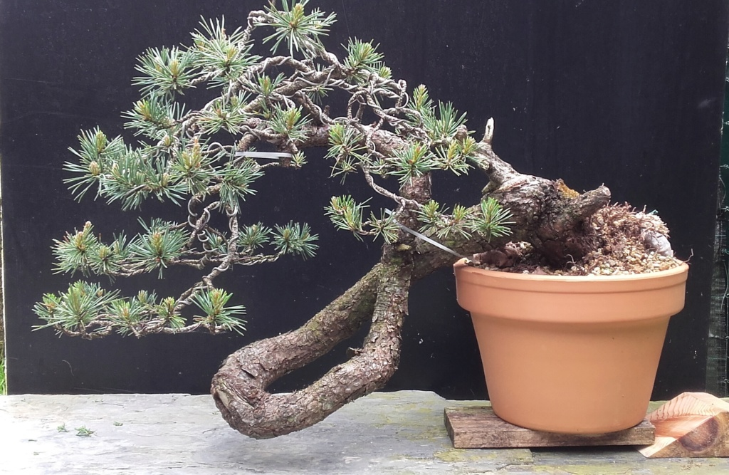 venta pino silvestre Silcas10
