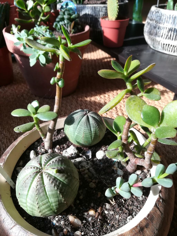 Euphorbia obesa Img_2025