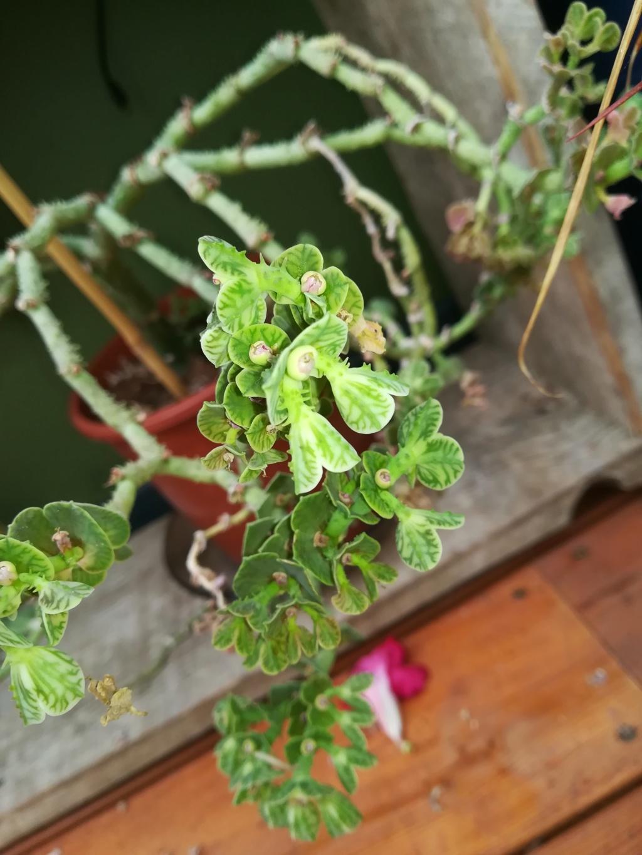 Euphorbia Echinulata / Monadenium Echinulatum Img_2081