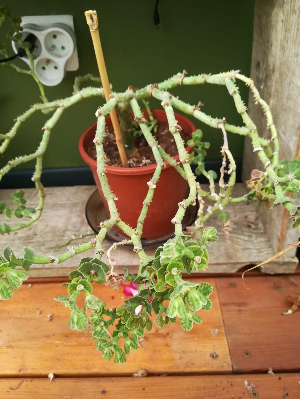 Euphorbia Echinulata / Monadenium Echinulatum Img_2083