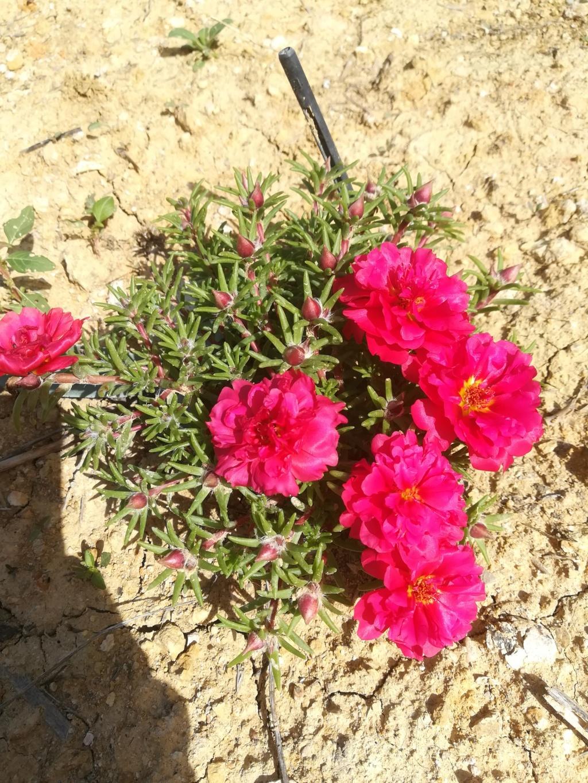 Portulaca grandiflora Img_2110