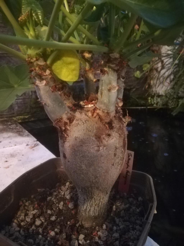 Jatropha podagrica - Page 31 Img_2470