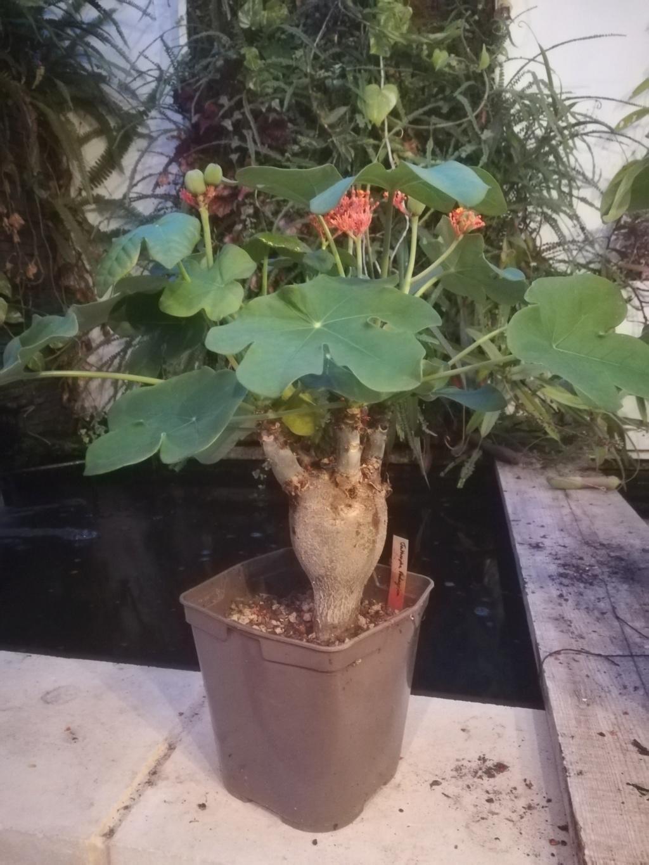 Jatropha podagrica - Page 31 Img_2471