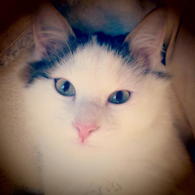 OXLAY, chaton européen tigré gris et blanc, poils mi-longs, né le 01/06/18 Img_4311