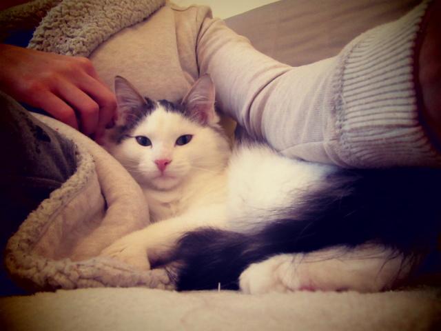 OXLAY, chaton européen tigré gris et blanc, poils mi-longs, né le 01/06/18 Img_4313