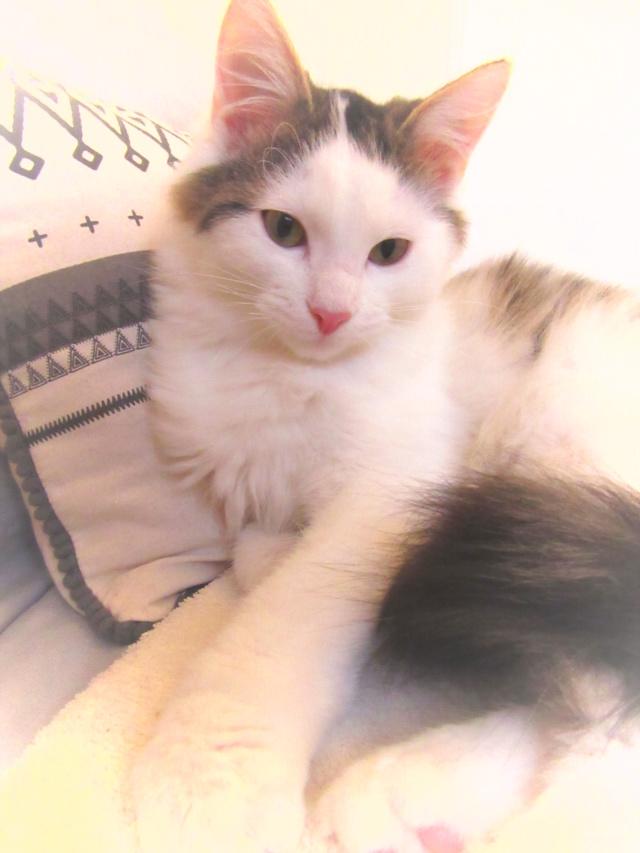 OXLAY, chaton européen tigré gris et blanc, poils mi-longs, né le 01/06/18 Img_4411