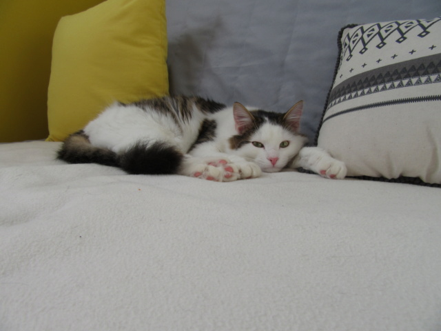 OXLAY, chaton européen tigré gris et blanc, poils mi-longs, né le 01/06/18 Img_4510