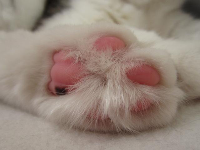 OXLAY, chaton européen tigré gris et blanc, poils mi-longs, né le 01/06/18 Img_4512