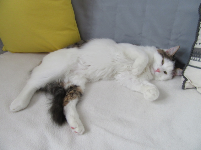 OXLAY, chaton européen tigré gris et blanc, poils mi-longs, né le 01/06/18 Img_4610