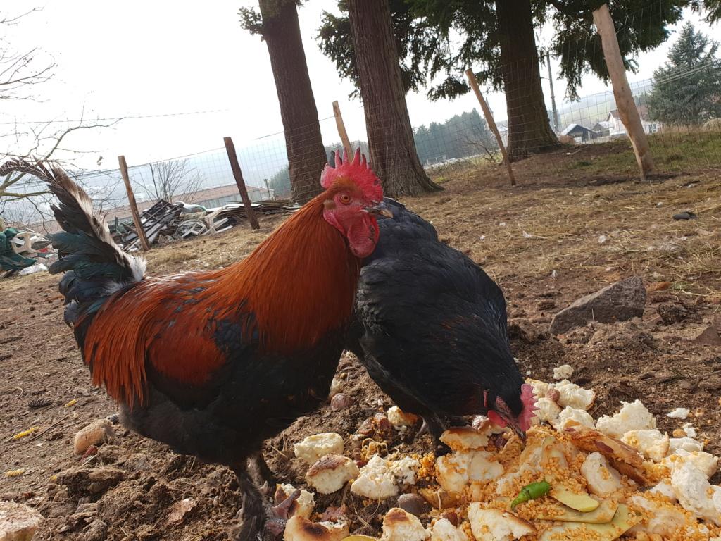 Vos avis sur Marans Noires camail cuivré 20190114
