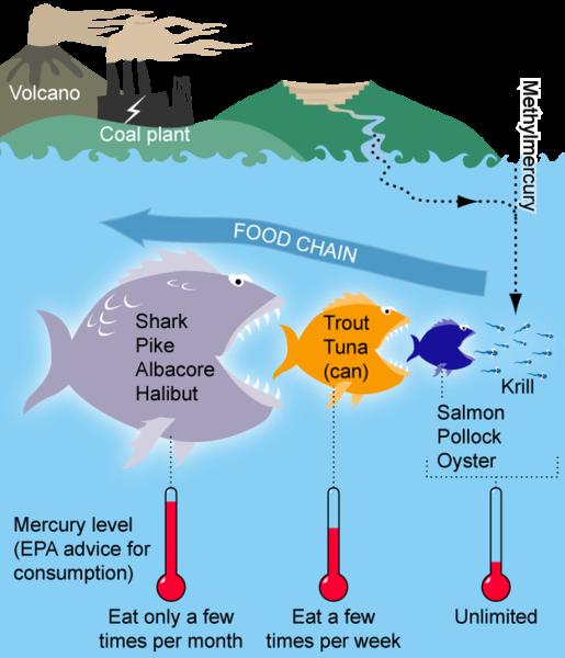 La bioaccumulation: petites substances, grosses conséquences Mercur10