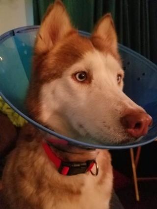 female Husky ready for a home near Houston Texas Heidi111