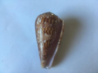 Conus (Cylinder) dalli Stearns, 1873 6795f210