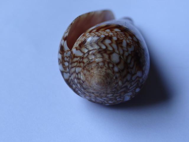 Conus (Cylinder) dalli Stearns, 1873 Ae3c5e10