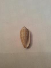 Pterygia crenulata (Gmelin,1791) C5190210