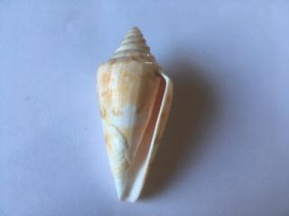 Conus (Floraconus) anemone Lamarck, 1810 Ed395c10
