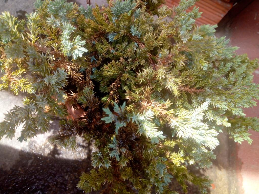 junipero procumbes nana Img_2015