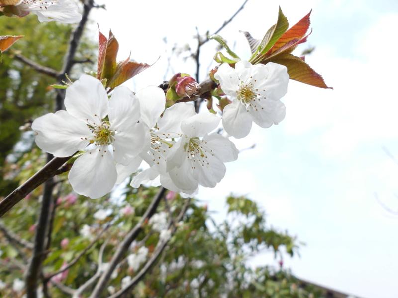 Fleure blanche (Avis) P1230110