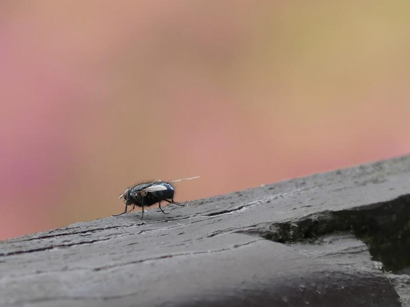Première insecte que je prend nette (avis) P1240910