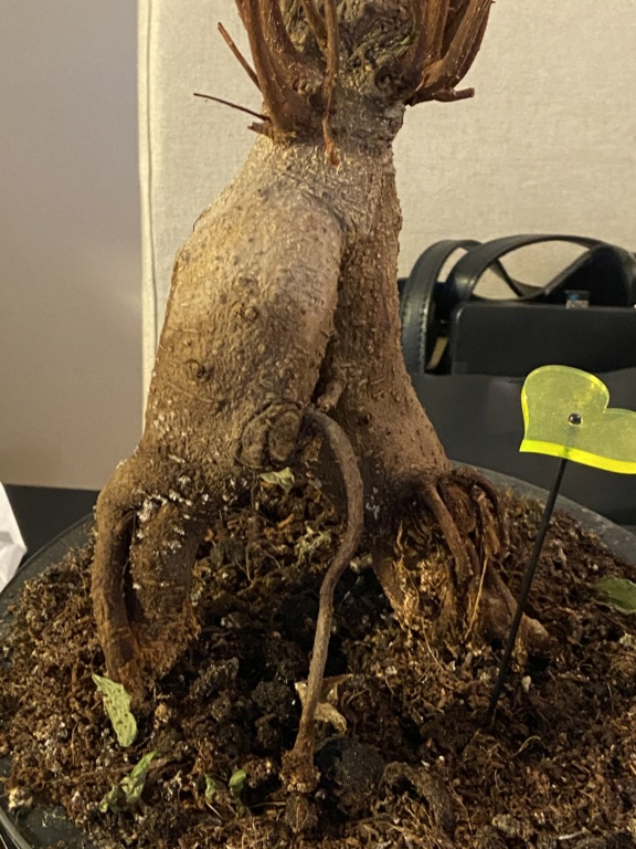 Mi bonsai se muere 04f1b310