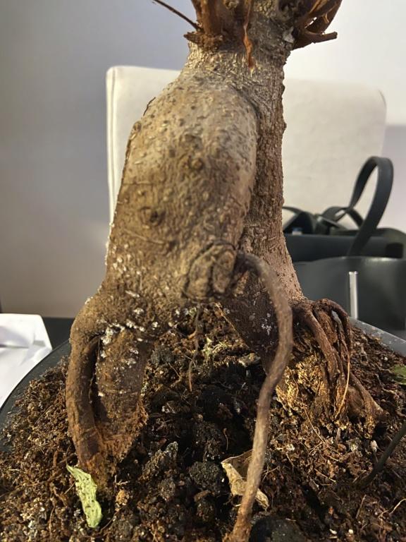 Mi bonsai se muere 6de7fc10