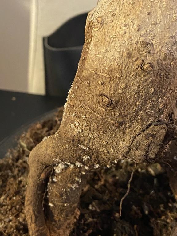 Mi bonsai se muere E0f35410