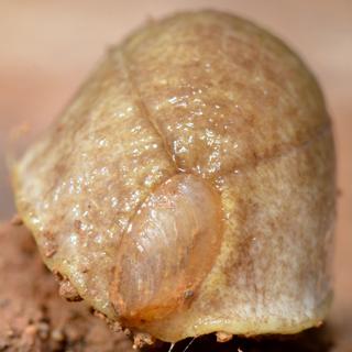 Testacella haliotidea en Dordogne Nvr_8710