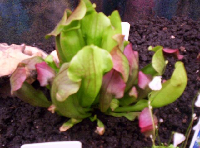 Identifiée -> Sarracenia paradisia 100_1110