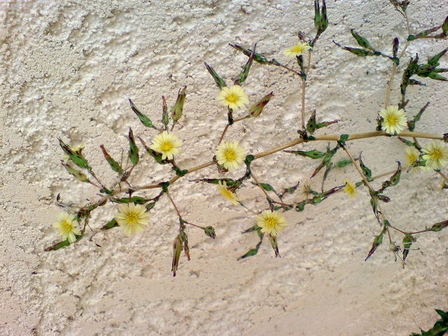 identification plante de mon jardin...(:lactuca seriola) - Page 3 Dsc00010