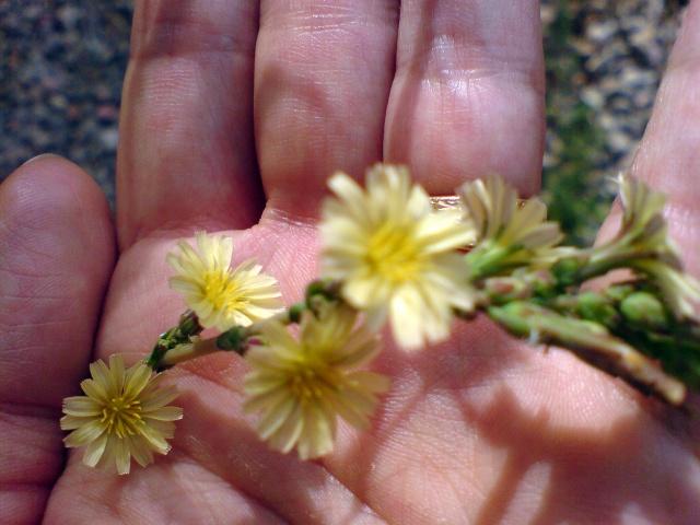 identification plante de mon jardin...(:lactuca seriola) - Page 3 Dsc00011