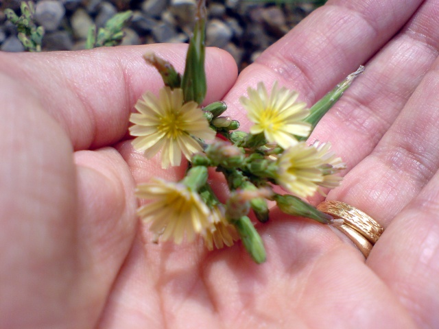 identification plante de mon jardin...(:lactuca seriola) - Page 3 Dsc00012
