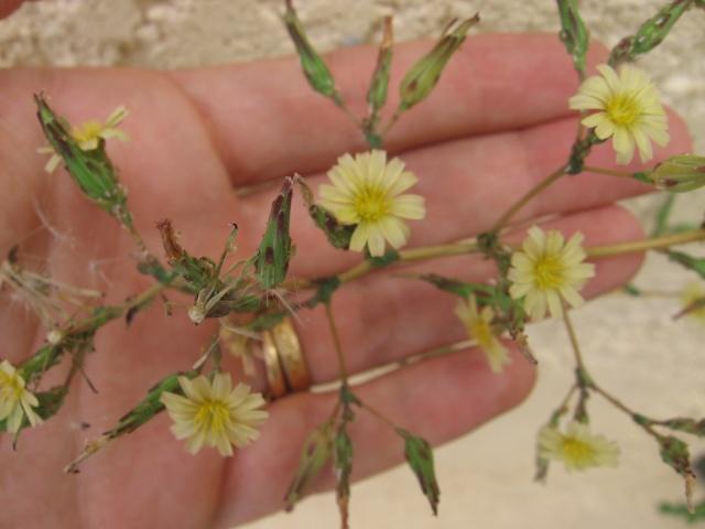 identification plante de mon jardin...(:lactuca seriola) - Page 3 Img_0010