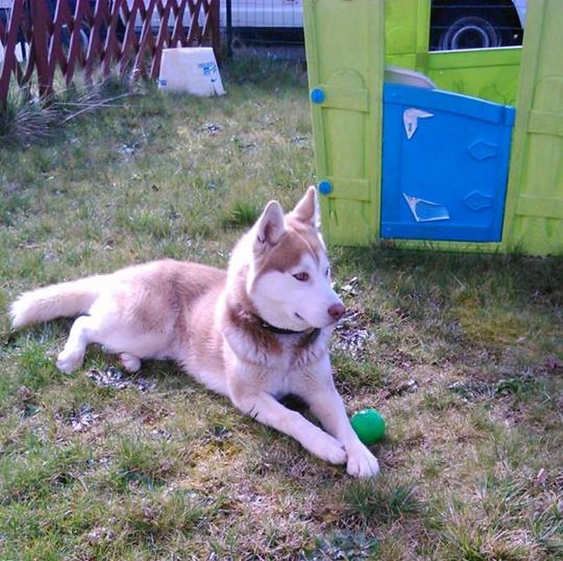 Inouk, Husky 22mois doit changer de famille PART35 ADOPTE Inouk10