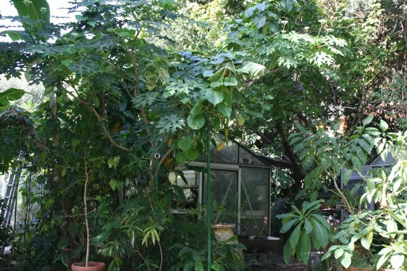 Cnidoscolus aconitifolius - chaya Ambian18
