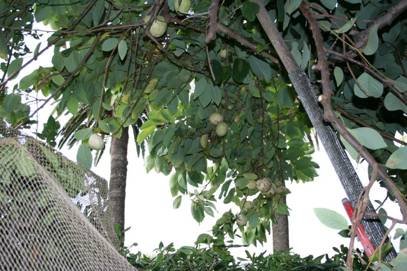 Asimina triloba - asiminier, pawpaw Annona17