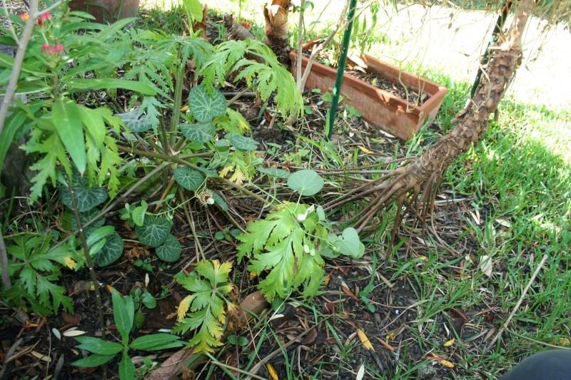 Aristolochia fimbriata Aristo21