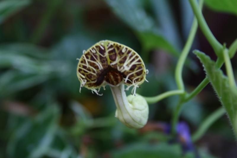 Aristolochia fimbriata Aristo22