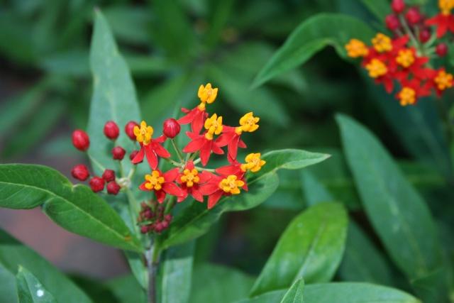 Encore des fleurs que j'aime bien: Asclep10