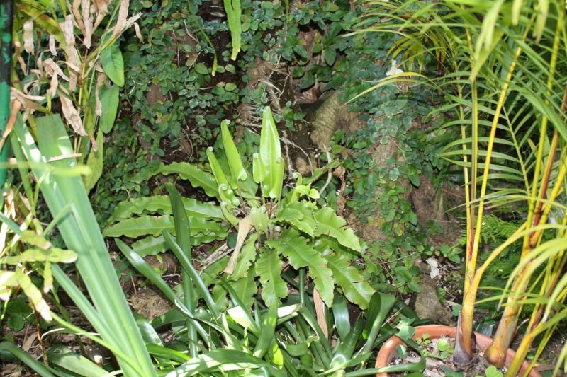 Asplenium scolopendrium - scolopendre Asplen10